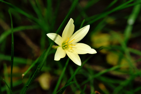 funnel shaped: The flower has funnel -shape , six petals and sweet , pleasant fragrance. Stock Photo