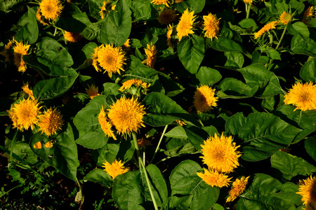 plants species: A species of Helianthus or sunflower cultivated as food crops and ornamental plants. Archivio Fotografico