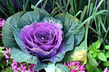 degeneration: Purple cabbage is  rich in anthocyanin and antioxidants which help lower risk of cancer , heart disease , macular degeneration and others. Stock Photo