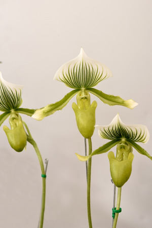 lady s: The flowering plant commonly called   lady s slippers  with the pouch - like labellum of the flower.