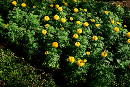 hardy: The hardy , annual plants with yellow flowers and have pungent odor which keeps insects at bay.
