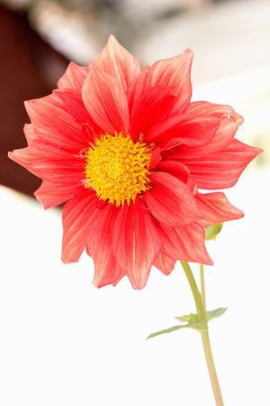 florets: A flower head of brightly red dahlia that  composed of central disc florets and surrounding ray florets ,