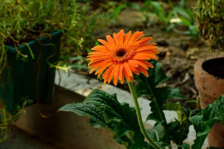 Le capitule d'une fleur de gerbera jaune composée de centaines de fleurs individuelles. La fleur est utilisée comme plante décorative ou comme les fleurs coupées. Banque d'images
