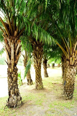 scars: The palm that has a single trunk covered with ornamental diamond - shaped pattern of leaf scars and  pinnate leaves.