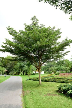 bole: The large deciduous tree with straight bole and wide horizontal canopy of evenly destributed foliage.