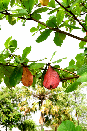 tiers: Reddish - brown and green leaves on branches  of a tropical almond tree .