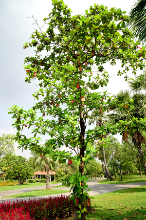 tiers: The tall , upright tree with large green leaves which turn pinkish - reddish or yellow - brown in dry season. Stock Photo