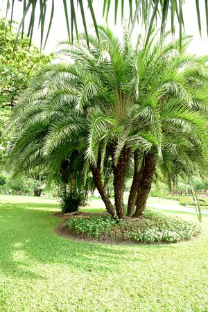 scars: A cluster of true date palms grown in Suan Luang Rama 9th public park , Bangkok , Thailand.