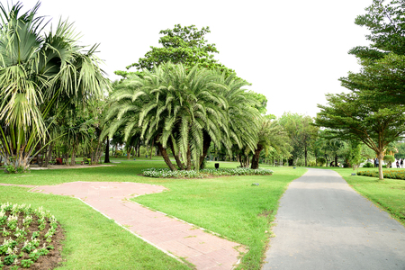 dactylifera: A group of true date palms  surrounded by small flower plants in Suan Luang Rama 9th Public Park , Bangkok , Thailand.