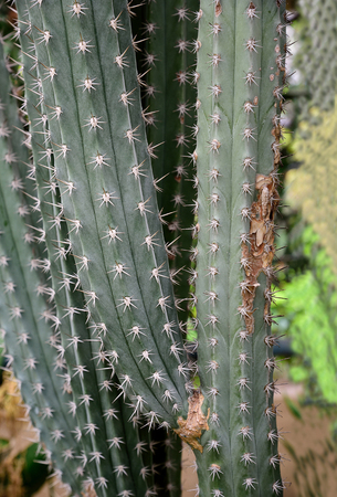 Longitudinal stems of cacti with its side arms and spines .