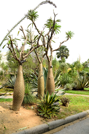 spines: The silvery - gray trunk plants with sharp spines and long narrow leaves at the top of the trunk.This picture was taken from Suan Luang Rama 9th , Bangkok , Thailand.