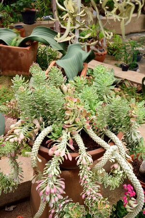 crassula ovata: The branching shrub with stout stems ,rounded green leaves variegated with creamy yellow and white. Stock Photo