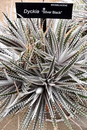 dyckia: The xerographic plant that can survive long periods without water by growing dormant.