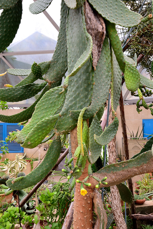 Eastern prickly pears in dense tangled structures  with yellow colored flowers.
