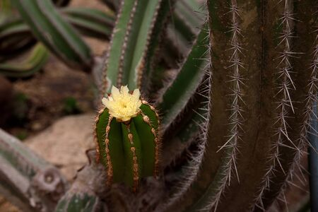 A yellow flower of spiny longitudinal cacti. Stock Photo