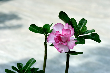 adenium obesum: The houseplant with its pink colored flowerand clusters of thick , succulent leaves.