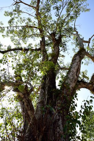 peepal tree: The large deciduous tree is considered sacred by the followers of Hinduism and Buddhism.