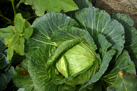 A leafy vegetable is round or oval in shape . It is  grown for its  dense - leaved heads.