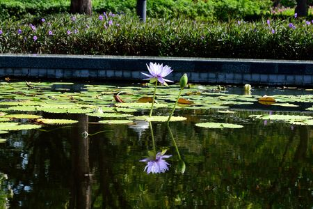 Purple lotus flowers in bloom and bud in a pond.