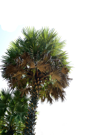 dioecious: A robust tree with leaf scars and fan - shaped leaves.