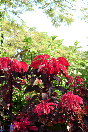 amaranthus: Amaranthus tricolor plants in a phase of bright red color.
