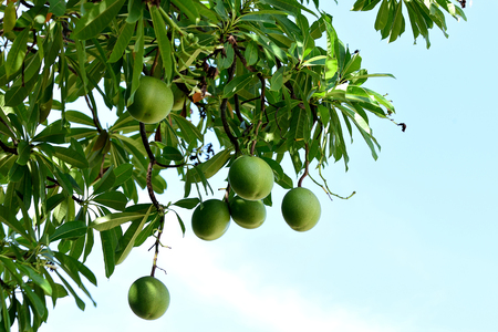 tapering: The dicotyledonous plant and its green fruits and tapering -  based leaves. The fruits are used for manufacturing bioinsecticides and deodorants.