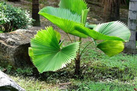 fan shaped: The slow growing palm with circular , ruffled , glossy green leaves. Stock Photo