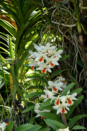 cash crop: The orchid flowers with white petals and orange lips widely grown as a cash crop in Southeast Asia.