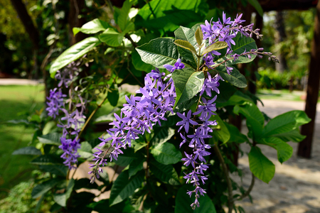 petrea: The purple flowers that come in raceme with rough - textured green leaves.