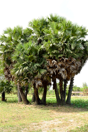 fan shaped: The dioecious evergreen palms with solitary stems bearing rounded leaves with multiple leaflets.