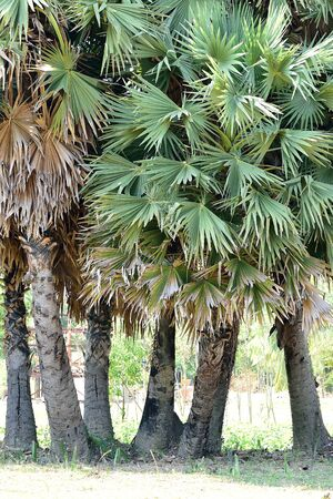 dioecious: The dioecious evergreen palms with solitary stems bearing rounded leaves with multiple leaflets.