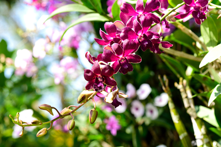 cash crop: A hybrids of orchid flowers in bloom and bud. Stock Photo