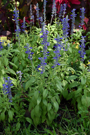 perennial plant: A herbaceous perennial plant about six inches high and bear small  purple flowers.