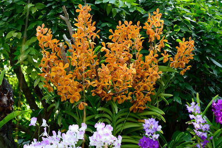 cash crop: The tropical orchid hybrids grown as a cash crop in Thailand.