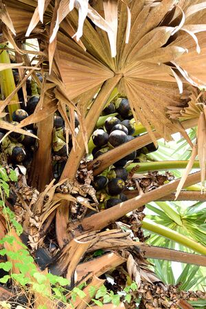 fibrous: The black to  brown  fruits with sweet , fibrous pulp . Stock Photo