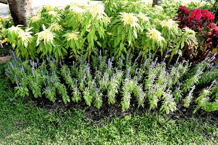 amaranthus: A garden of leafy plants of amaranthus tricolor and forget - me - not flowers. Stock Photo