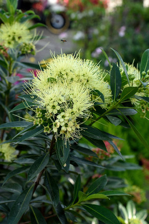 showy: The gardening plant with showy yellow blooms and shiny green elliptic leaves. Stock Photo