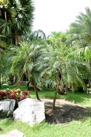 singly: The tropical plants grow singly from a single root system and pinnate leaves. Stock Photo