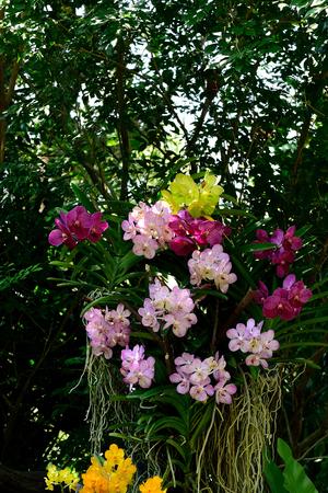 cash crop: Various colorful vanda orchids grown as ornamental plants and cash crop.