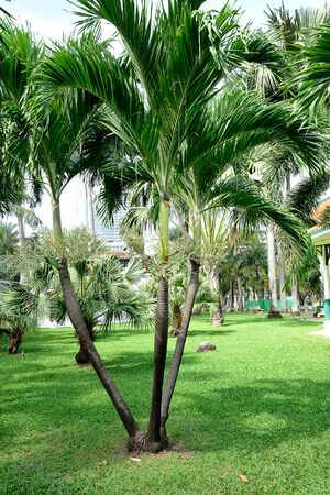 liked: The trifurcation of green king palms with grey trunks and feather - liked leaves.