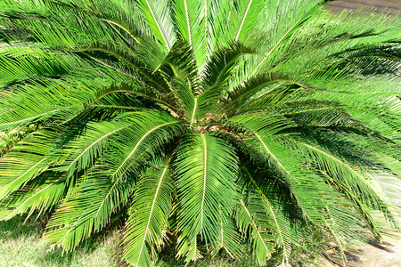 dioecious: A rosette of pinnate leaves of  a cycad plant.