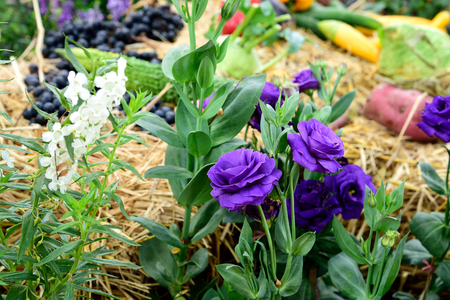 bell shaped: The  ornamental  potted plant  with gentian - like bell - shaped flowers. Stock Photo