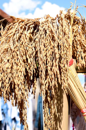 basic food: Ears of rice , the grain that represents  a  world  s basic food.