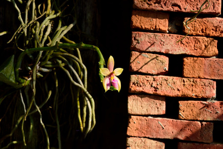 liked: A  soft yellow flower of Phalaenopsis hybrids with hard  blocks of fireblocks. Stock Photo