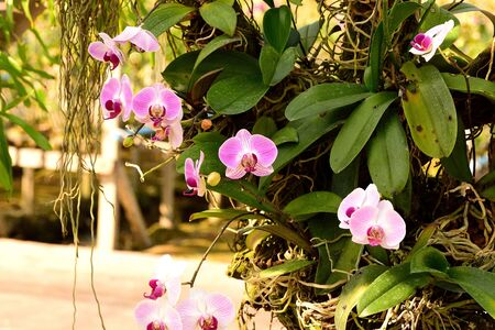 aerial roots: A hybrids of orchid flowers wiht striped pattern of petals .