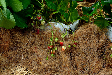 Riped and unriped strawberry fruits in a demonstrated garden.