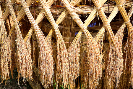 nutriment: Ears of rice are arranged in x - crossed bundles.