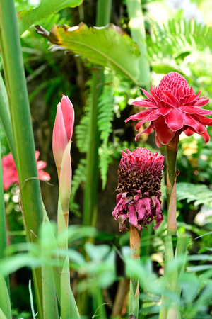 ginger flower plant: The tropical plant in ginger species  with colorful red flowers in bloom and bud.