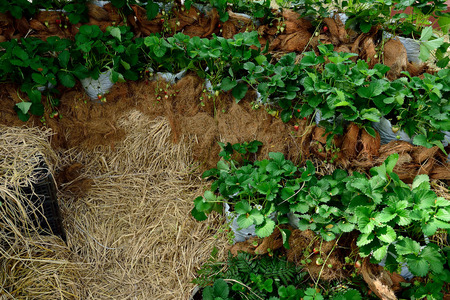 The demonstrated  field of strawberry cultivation.