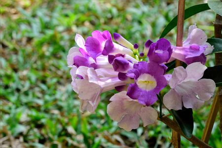 climbing plant: The ornamental climbing  plant with its lavender - violet flowers.
